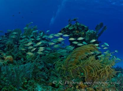 Bahamas reef fish and black corals
