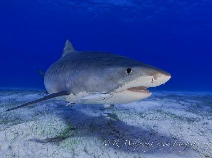 Tiger Shark Grand Bahama